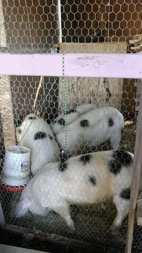 pigs in coop